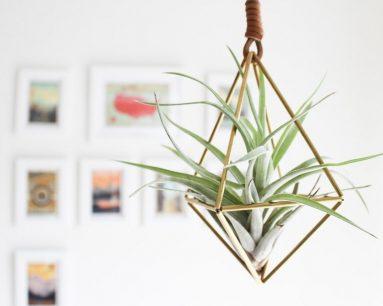 Комнатные воздушные растения
